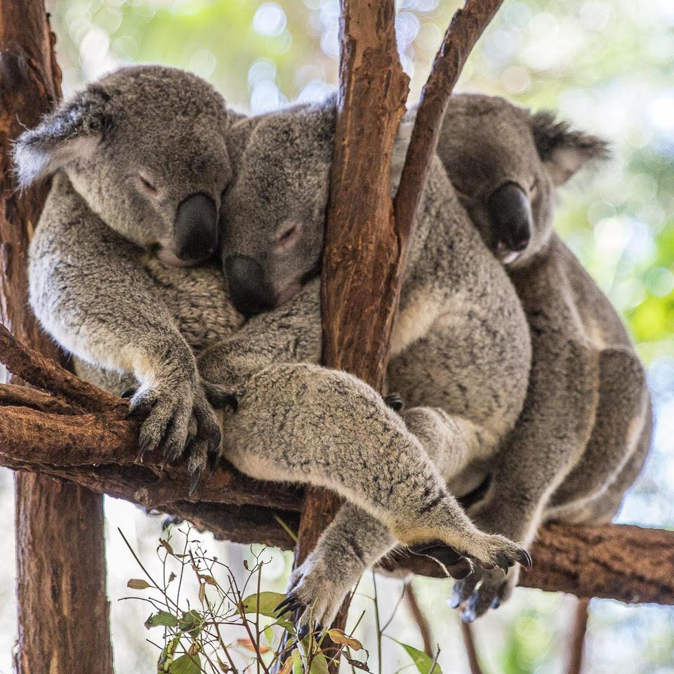Australia Bucket List - Cuddle a Koala
