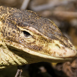 Head of a lace monitor