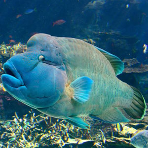 Image of Elvis the Humphead Maori Wrasse in Blue Pearl Bay