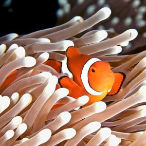 Clownfish emerging from white anemone