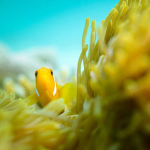Head and fins of a clownfish emerging from yellow anemone