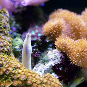 The heads of two small white eels seen amongst colourful coral of the Great Barrier Reef