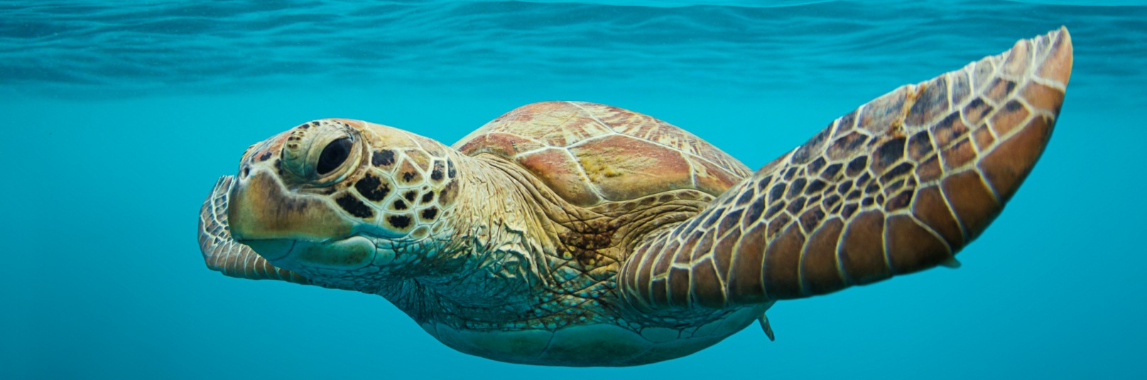 Whitsunday Turtle - Ocean Clean Prints Photography