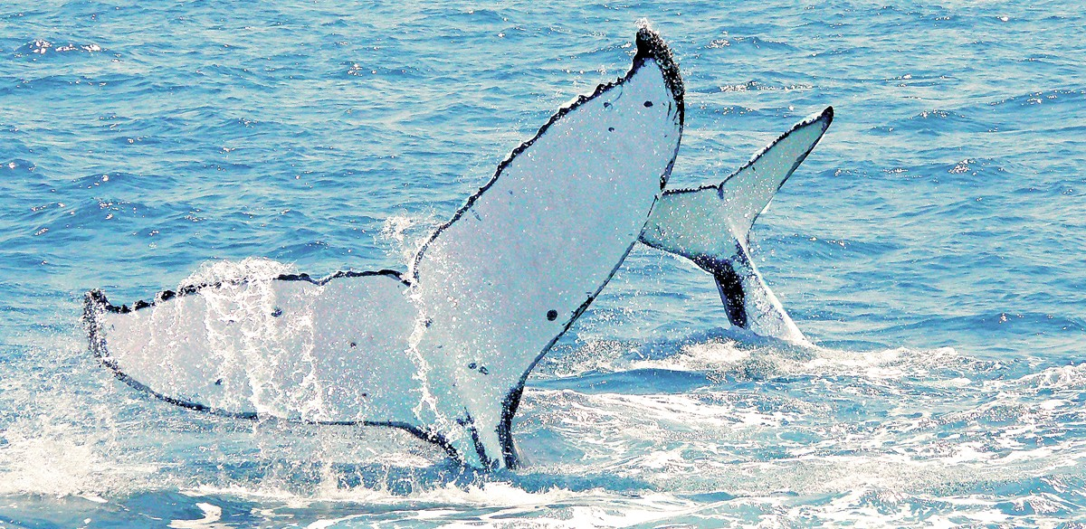 whale season Whitsunday Islands