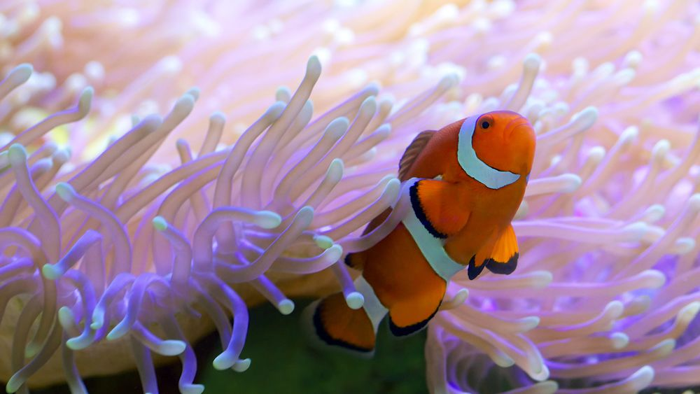 snorkelling clown fish