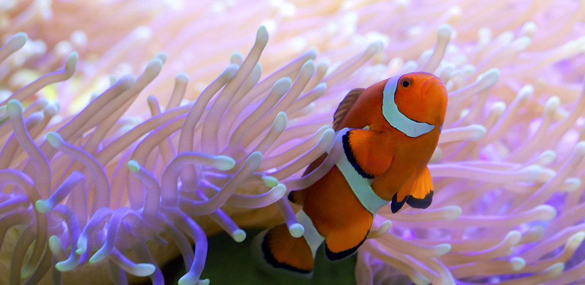 Clownfish and anemone on the Great Barrier Reef
