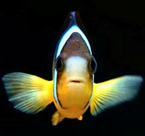 Face-on view of clownfish