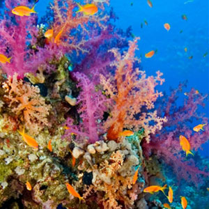 Pink and orange Alcyonaria-type corals surrounded by Orange Basslet in Butterfly Bay