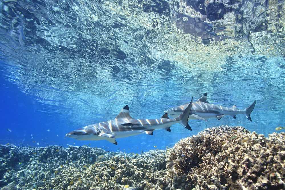 Whitsunday sharks blacktip reef sharks