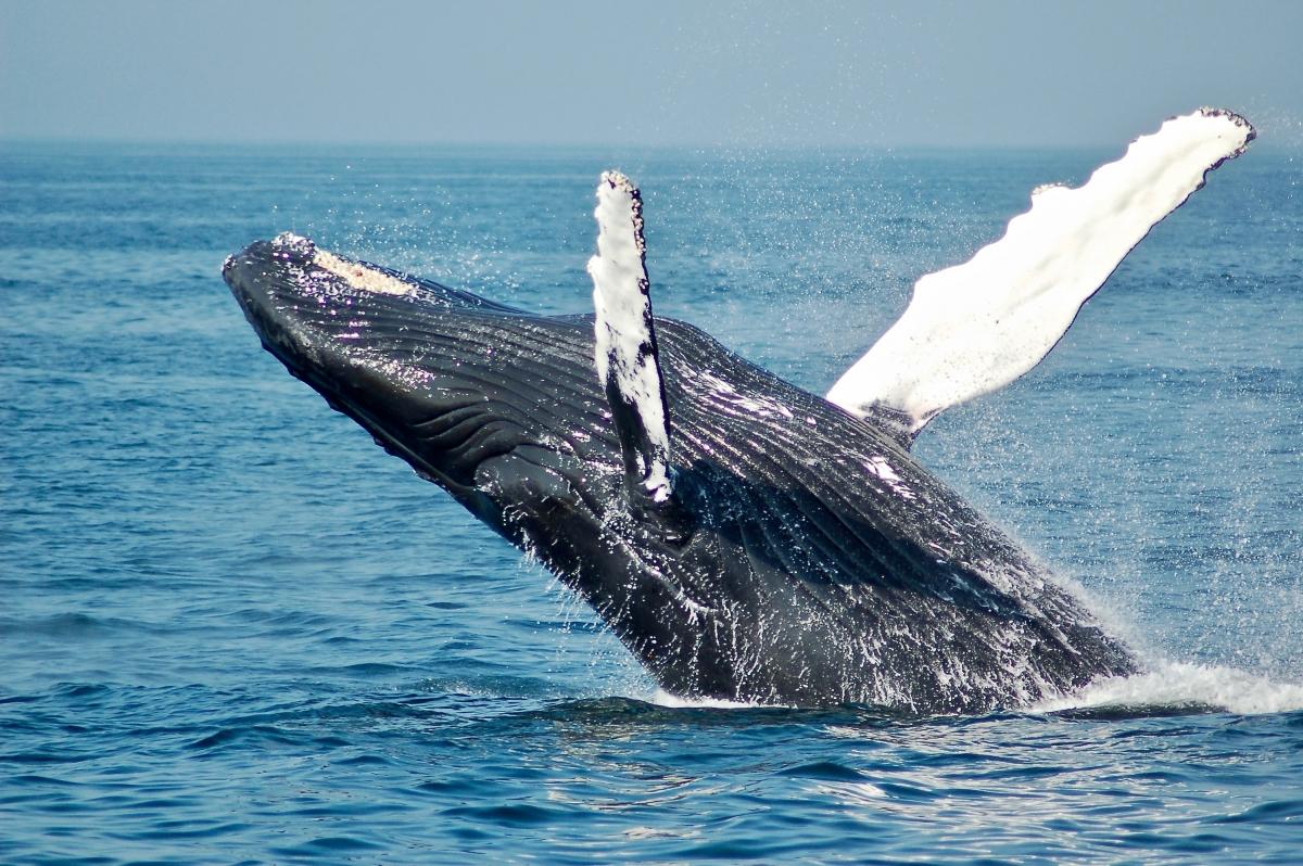 humpback whale Whitsundays